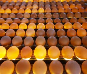 Nemalux offers wavelength specific engineering for the food industry - wavelengths and high CRI for inspection, spectral analysis for contaminants, bruising detection